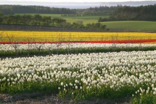 Hald/Hejlskov - 2 - Højgård Planteskoles tuplipanmarker